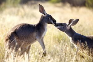 Episode 1: Two kangaroos